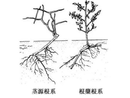 树木出现问题,为什么资深ballbet贝博app西甲植保人总是先从根系说起?